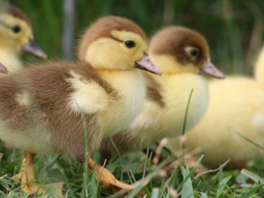 March of the Baby Ducks